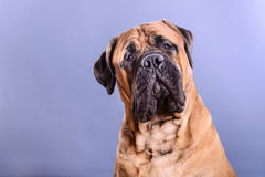 Bullmastiff dog portrait. Close-up on a light background stock image