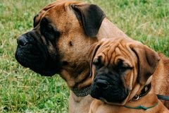 Bullmastiff dog and puppy Stock Image