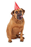 Bullmastiff Dog Wearing Birthday Hat Licking Lips Royalty Free Stock Images