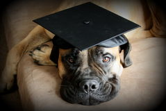 Bullmastiff Dog Wearing a Graduation Cap Royalty Free Stock Images