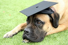 Bullmastiff Dog Wearing a Graduation Cap. Bullmastiff dog lying down on grass and wearing a black graduation cap royalty free stock photo