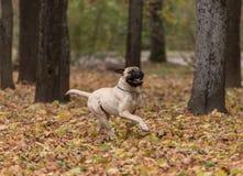 Bullmastiff está corriendo en el parque Fotos de archivo