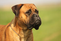 Bullmastiff Female Portrait. Beautiful Close Up Shot from Bullmastiff Female with nice expression in head stock photo