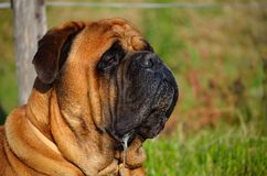 Bullmastiff-Geifer Stockfotografie