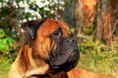 Bullmastiff head Stock Photography
