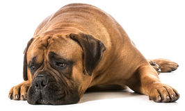 Bullmastiff. With head down resting on white background royalty free stock image