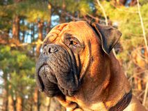 Bullmastiff head01 Obraz Stock