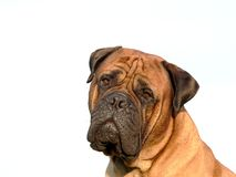Bullmastiff head02 Stockbilder