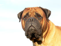bullmastiff head03 Arkivbild