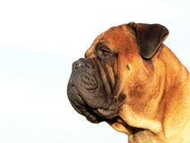 bullmastiff head03 Royaltyfri Foto