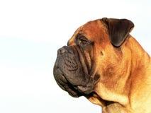 Bullmastiff head03 Royalty Free Stock Photo