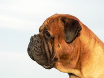 bullmastiff head04 Royaltyfri Fotografi