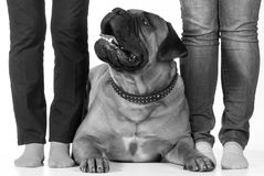 Bullmastiff and his owner Stock Photography