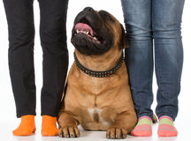 Bullmastiff and his owners Royalty Free Stock Photos