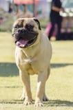 Bullmastiff-Hund Lizenzfreies Stockbild