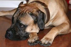 Bullmastiff-Hund, der auf Boden niederlegt Stockbilder