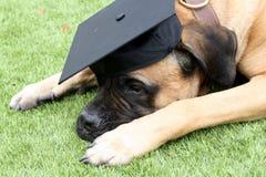 Bullmastiff-Hund, der eine schwarze Staffelungs-Kappe trägt Stockbild