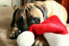 Bullmastiff-Hund, der mit Santa Hat spielt Lizenzfreies Stockbild