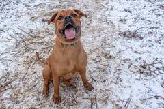 Bullmastiff-Hund sitzt aus den Grund stockfotografie
