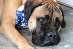 Bullmastiff hund som bär den patriotiska bandanaen Arkivbilder
