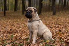 Free Bullmastiff Is Sitting In The Park. Royalty Free Stock Images - 91184969