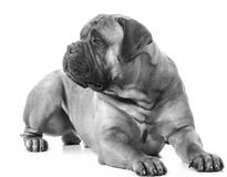 Bullmastiff laying down Stock Photos