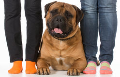 Bullmastiff. Laying beside his owners feet on white background stock images
