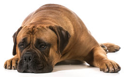 Bullmastiff. Male laying down on white background royalty free stock image