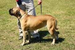 Bullmastiff with owner Royalty Free Stock Images