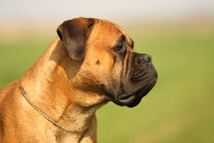 Bullmastiff Portrait Royalty Free Stock Photography
