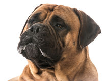 Bullmastiff portrait. Bullmastiff drooling on white background stock photography