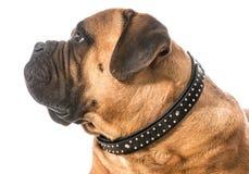 Bullmastiff portrait Royalty Free Stock Image