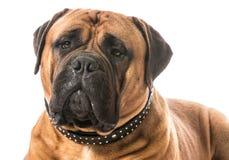 Bullmastiff portrait Royalty Free Stock Images
