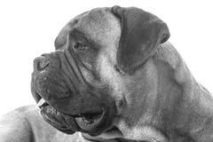Bullmastiff portrait Stock Photography