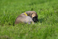 Bullmastiff puppy. Little bullmastiff puppy in grass stock photography