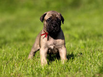 Bullmastiff puppy. Royalty Free Stock Photos