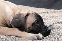 Bullmastiff puppy 31 Royalty Free Stock Photos
