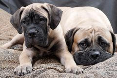 Bullmastiff puppy 84 Royalty Free Stock Image