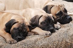 Bullmastiff puppy 93 Stock Image
