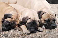 Bullmastiff puppy 94 Stock Photo