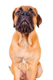 Bullmastiff puppy barking loudly Royalty Free Stock Photo
