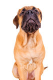Bullmastiff puppy barking loudly Stock Images