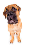 Bullmastiff puppy barking loudly Royalty Free Stock Photos