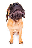 Bullmastiff puppy barking loudly Stock Photography