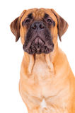Bullmastiff puppy barking loudly Royalty Free Stock Image