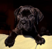 Bullmastiff puppy Royalty Free Stock Images