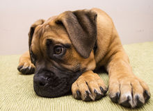 Bullmastiff Stock Images