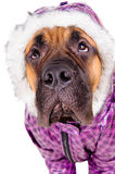 Bullmastiff puppy dressed Stock Image