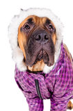 Bullmastiff puppy dressed Royalty Free Stock Photography
