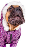 Bullmastiff puppy dressed Royalty Free Stock Photo